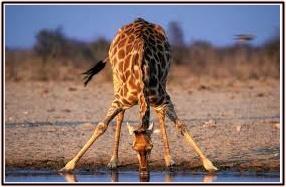 キリン、水、かがむ